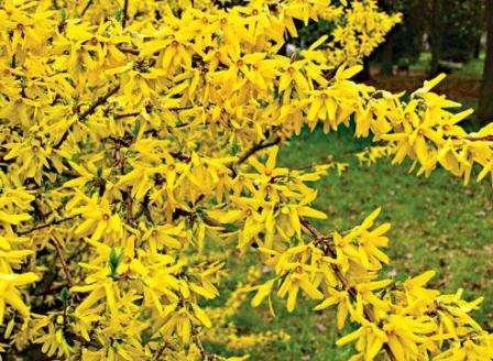 Эти невысокие солнечные кустики с ярко желтыми цветами, особенно хорошо впишутся в скромные по площади садовые участки.