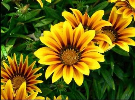 Если вас заинтересовало то, как проходит выращивание гацании из семян в домашних условиях, значит, скорее всего, вам приходилось видеть этот великолепный цветок.