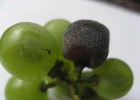 Грибковое заболевание, проявляющееся фиолетовыми пятнами на ягодах и листьях.