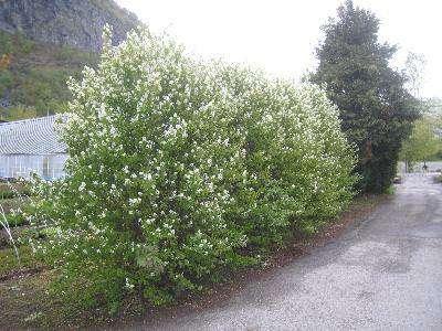 Растение обладает особенной декоративностью не только в мае, когда оно покрыто нежными белыми цветочными кистями.