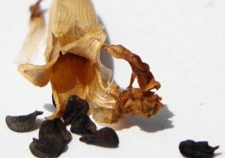 Хранить собранные семена можно в течение 2- 3 лет.