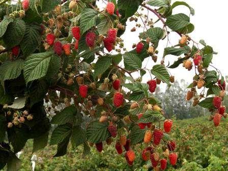 Из этой статьи вы узнаете, что из себя представляет малиновое дерево; посадка и уход, фото, размножение — обо всем этом вы узнаете сегодня на нашем сайте для фермеров.