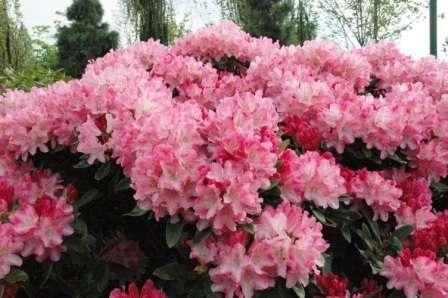 Это очень красивое растение, но его непросто вырастить в холодных регионах.