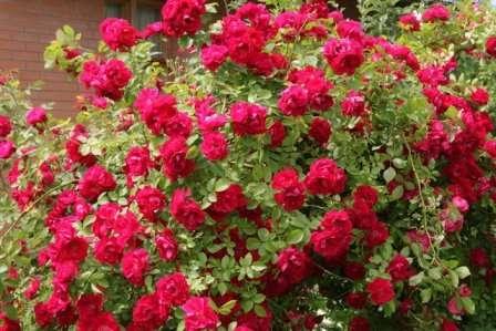 Красные или розовые пышные цветки появляются на колючих ветвях в начале лета, а полезные плоды — в начале осени.