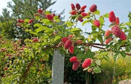Однако кроме достоинств садоводы отмечают и один существенный недостаток малинового дерева. По их наблюдениям, ягоды с таких кустов имеют не столь приятный вкус и аромат, как ягоды обыкновенных сортов малины.
