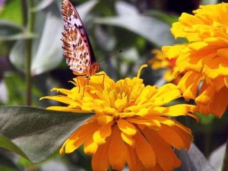 Семена циннии хорошо прорастают, а растение быстро развивается и переходит в фазу цветения в среднем через 2,5 месяца.