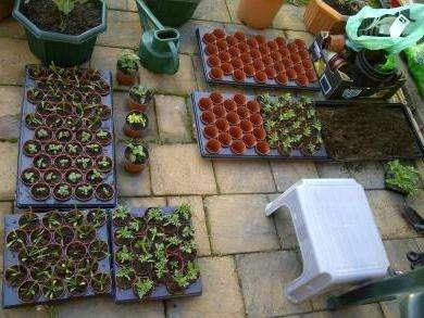 Пикировку сеянцев (в случае выращивания в общем контейнере) осуществляйте до образования первого настоящего листочка.