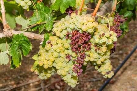 Как бороться с белым налетом на листьях винограда причины лечение
