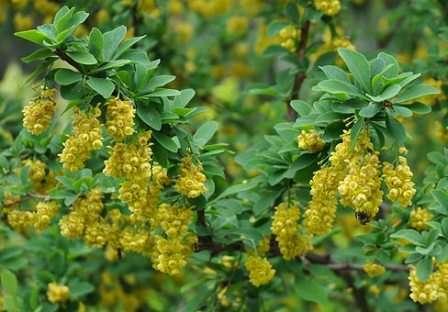 Эти обладающие особенной декоративностью кусты летом покрываются желтыми цветами, которые осенью сменяются красными ягодами.