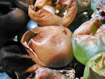 Ягоды становятся коричневыми и гниют. В итоге урожай может полностью погибнуть.