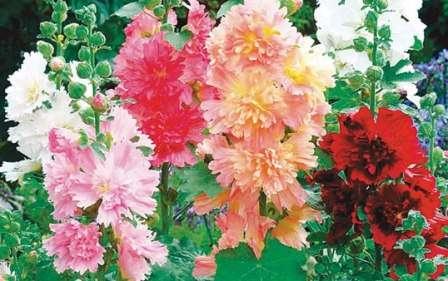 Многолетние садовые цветы, цветущие всё лето, название