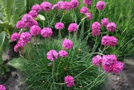 Красивые розовые или белые цветы, издали похожие на гвоздики (смотрите фото).