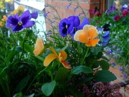 Так кусты будут цвести все лето и так же покроются цветами в следующем году.