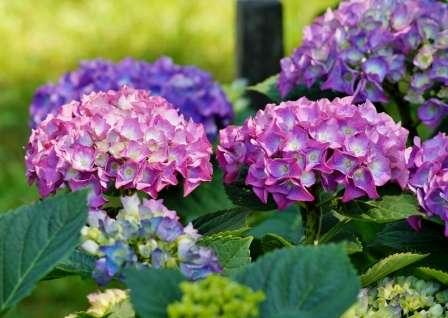 Гортензия всегда привлекает к себе внимание: кусты очень красивы и не исчезают практически все лето.