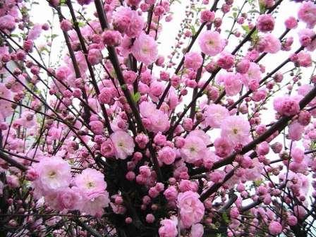 Усыпанные нежными розовыми цветочками кусты миндаля не могут не очаровывать владельца и прохожих.