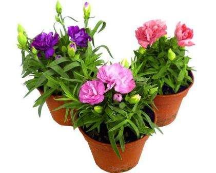 Поговорим о том, какие виды растения для этого подходят, и рассмотрим основные особенности домашнего выращивания этого цветка.