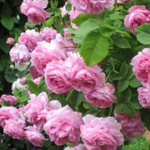 Кусты покрываются цветами в начале лета, а продолжается такая красота около месяца.