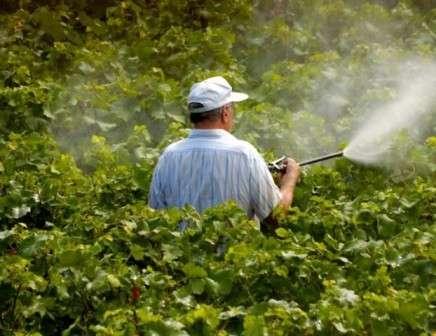 С бактериальными поражениями винограда бороться особенно тяжело.