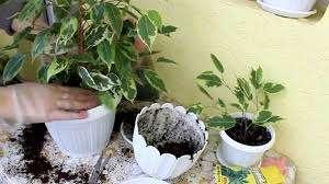 Пересадку молодого фикуса Бенджамина в более просторный вазон цветоводы совершают ежегодно.