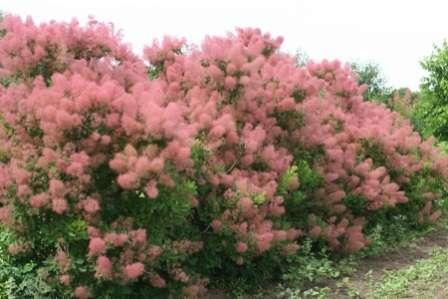 Великолепный кустарник с необычной формой цветения.
