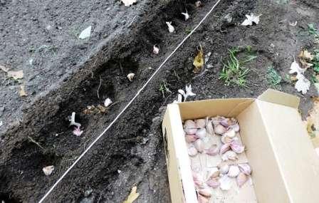 Глубина заделки при осенней посадке должна быть больше, чем при весенней, иначе чеснок вымерзнет зимой.