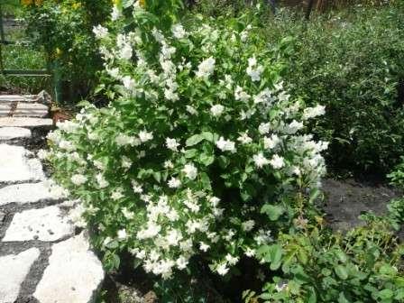 До цветения кусты жасмина не представляют какого-либо интереса в плане декорации.