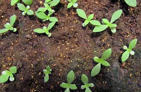 Если вы готовы так долго ждать — этот метод выращивания цинии вам подходит.