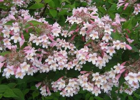 Словно нежные облака, бледно розовые цветы колквиции. Не зря ее название переводится как «нежная» или «милая сердцу».