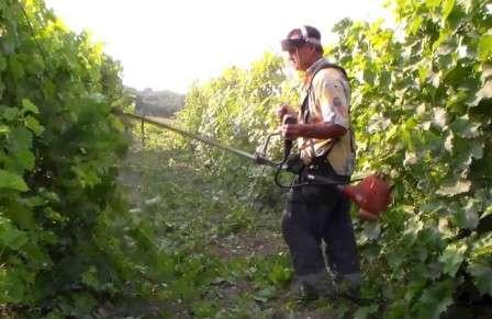 В случаях поражения кустов вопрос ставится уже совсем по другому: либо лишиться виноградника полностью, либо попробовать спасти его с помощью продуктов химической промышленности.
