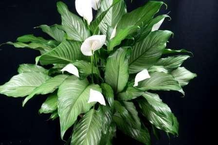 Но купив спатифиллум в цветочном магазине, можете не сомневаться, что в вашем доме он будет хорошо развиваться и цвести, если вы постараетесь создать для него идеальные условия.