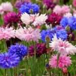 Неприхотливые многолетники, цветущие все лето: фото и название