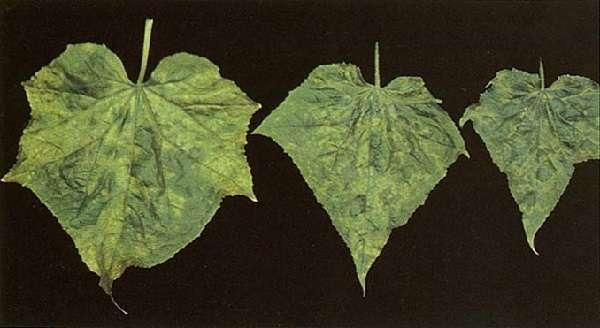 Мозаика огурцов относится к вирусным заболеваниям