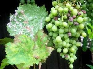 Встречается немного реже ложной мучнистой росы. Второе название болезни — мучнистая роса.