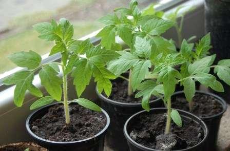 Дорогие дачники и фермеры, настало время узнать ответ на важнейший вопрос: чем подкормить рассаду помидор, чтобы были толстенькие основания и сочные листья?