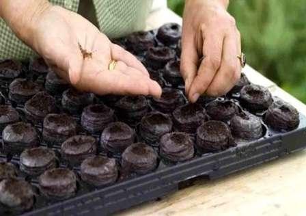 Лучше всего выращивать рассаду в торфяной таре.