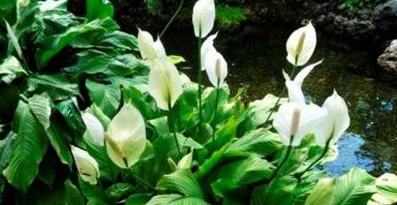 Растение произрастает на тенистых заболоченных участках в теплых зонах.