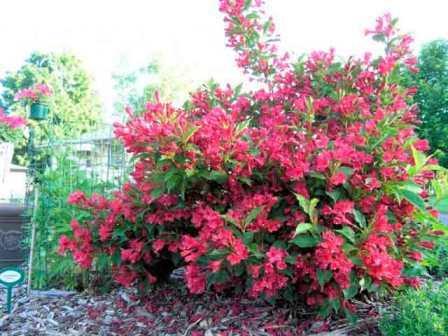 Куст выделяется среди других декоративных растений чрезвычайным обилием цветов.