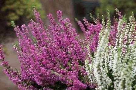 Продолжает цветение до поздней осени, тогда как начинается со средины лета. Кустик очень необычный с очень мелкими зимующими листочками. Вереск нередко используют как лекарство.