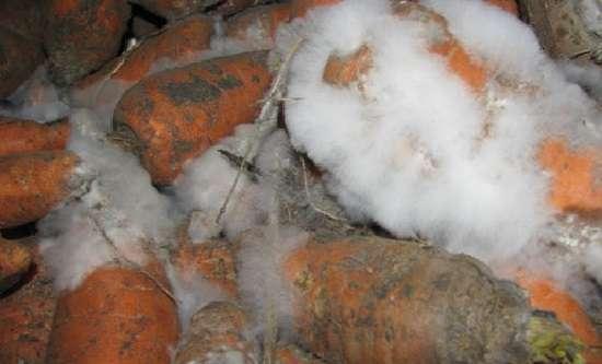 Белая гниль – это грибковое заболевание корнеплода
