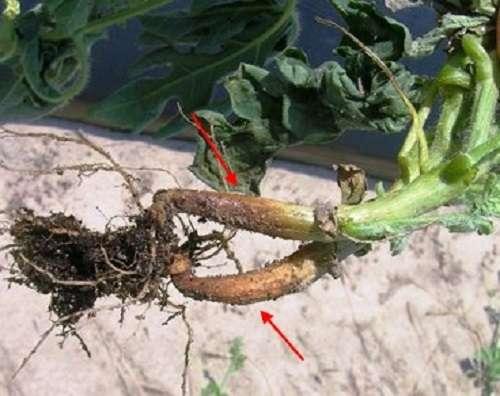 Корневая гниль у огурцов – довольно распространенная болезнь растения