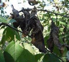 Причина такого состояния дерева — бактерии, которые легко переносятся насекомыми, ветром и осадками.