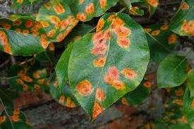 Грибок, вызывающий болезнь, зарождается на хвойных деревьях.