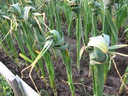 Когда начнет нарастать луковица, необходимо завязать листья чеснока в узел.