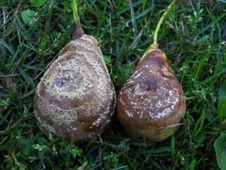 Некоторые зараженные плоды осыпаются, другие засыхают на ветках. Пик заболевания приходится на вторую часть лета.