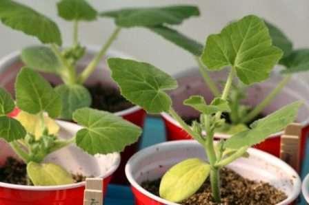 На стадии двух настоящих листиков подкормите огурчики раствором нитроаммофоски и нитрофоски.
