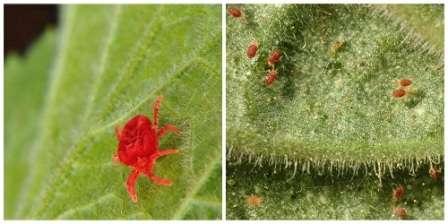 Выбираясь на свободу, паутинный клещ устраивается на молоденьких листьях огурцов и потихоньку высасывает из них сок.