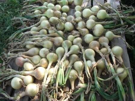 Важно следить за ним, переворачивать по необходимости и удалять луковицы, которые начинают портиться.