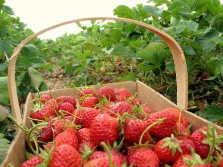 Если садовая земляника войдет в зиму ослабленной недостатком питательных веществ, она может заболеть или полностью пропасть.