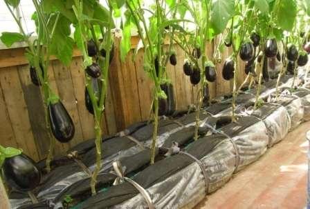 Защитят баклажаны от колорадского жука после засыхания картофельной ботвы метровая сетка по периметру грядки.