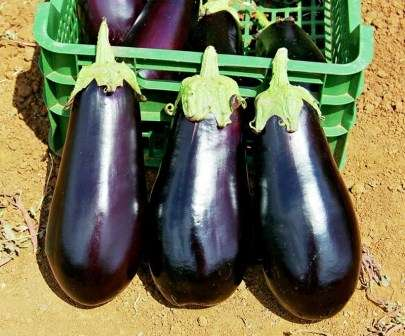 Невысокий куст (50 см) хорошо и быстро ветвится, образуя большое количество плодов.